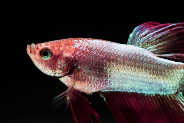 Gradient violet and pink dumbo betta splendens fighting fish
