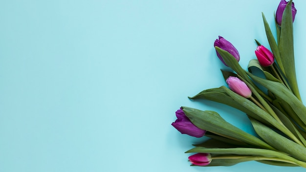 Gradient violet tulip flowers and blue background
