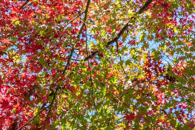 The gradual red maple leaves in the park