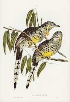 Graeat wattled honey-eater (anthochaera inauris) illustrated by elizabeth gould