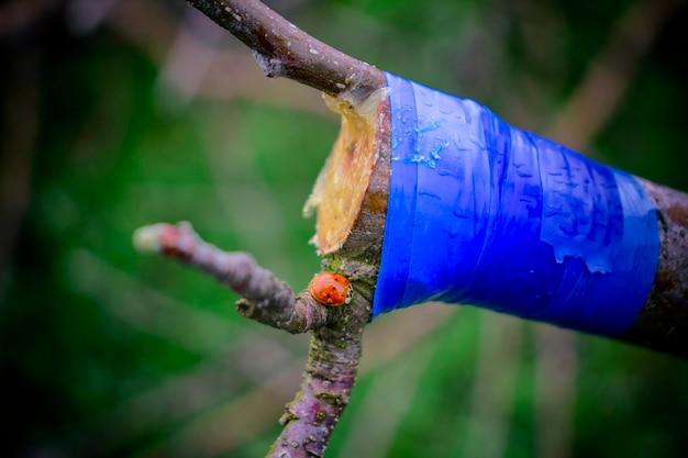 Привитая ветка яблони обмотана синей лентой. с красным насекомым.