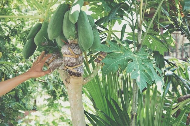 パパイヤ果樹の接ぎ木