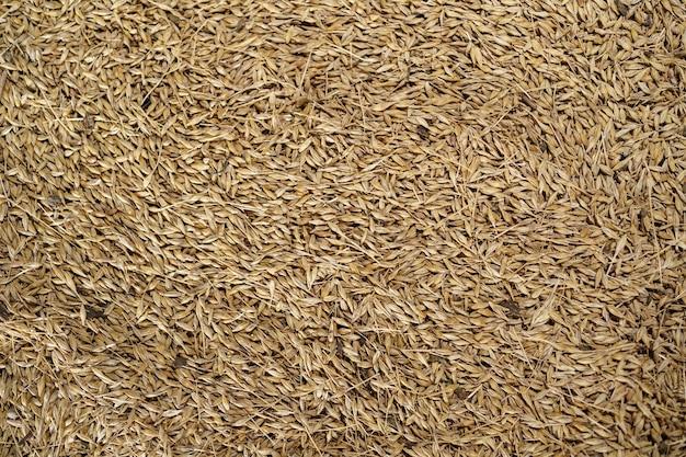 Sfondo di orzo di grano