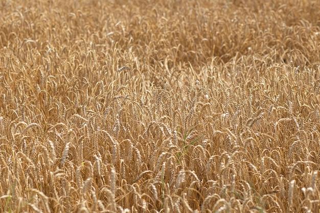 Grain field on a sunny day