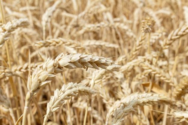 小麦の耳を持つ穀物畑をクローズアップ。農業農業農村経済農業概念