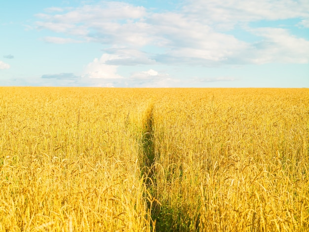 Grain field yellow fresh harvest  blue sky with clouds sunny day summer natural surface landscape