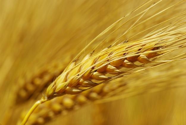 Grain of golden wheat