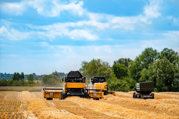 Grain harvesting combine in a sunny day. yellow field with grain. agricultural technic works in field.