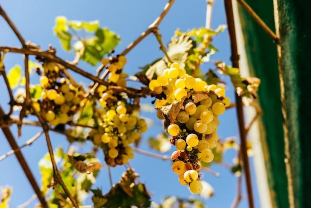 晴れた日の白熟したブドウの穀物