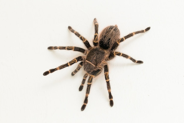 Grammostola pulchripes (golden knee tarantura) on white surface.
