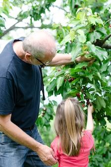 祖父が孫娘が木からサクランボを選ぶのを手伝う