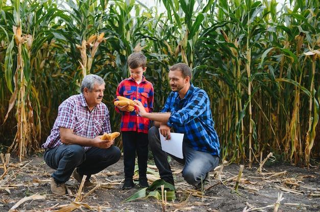 Дед, сын и внук работают на кукурузном поле. семейное фермерство.