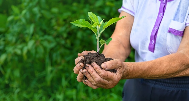 Бабушка держит в руках росток растения. выборочный фокус. природа.