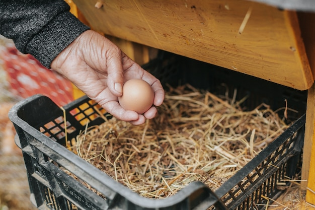 Grandmother picking up a new chicken egg from chicken coop, eco food