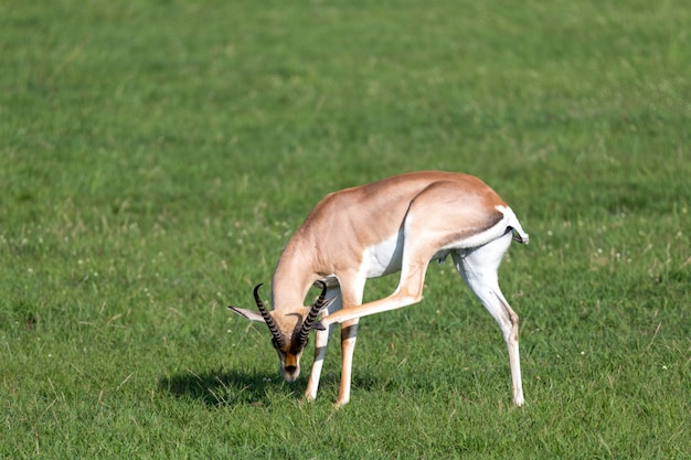 ケニアの国立公園の緑の牧草地にガゼルを許可