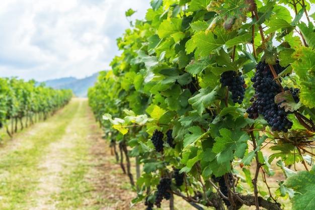 フランスのブドウとブドウ園の風景