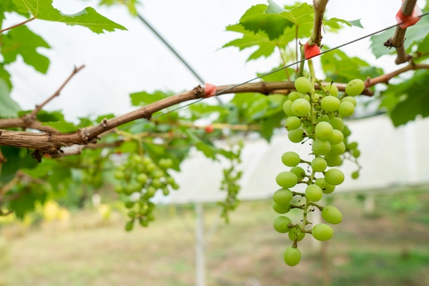 ブドウは消費者への販売のために成長しています。有害な化学物質を使わない有機栽培。 Premium写真