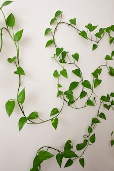 Grape branches with many leaves on a white background with yazigzags around the frame