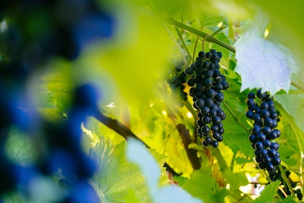 Гроздь винограда в саду размыто