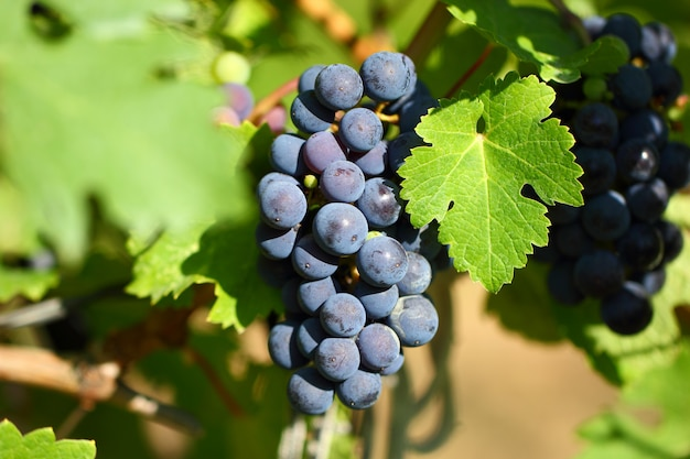 Grape cluster with blue dark berries hanging and ripening on a bush with leaves.