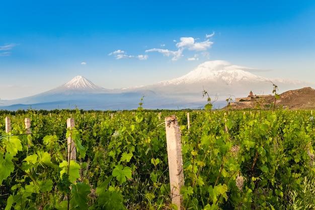 Виноградное поле в араратской долине. вид на хор вирап и гору арарат