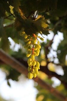 夏の季節の夏の背景の日光の下でグレープフルーツ