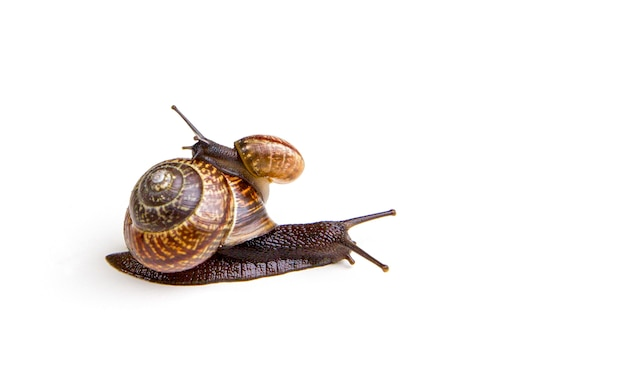 Grape garden snails (helix pomatia) slug sits on top of large snail