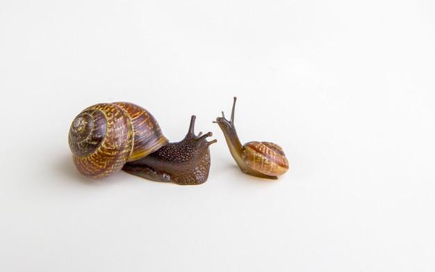 Grape garden snails (helix pomatia) slug