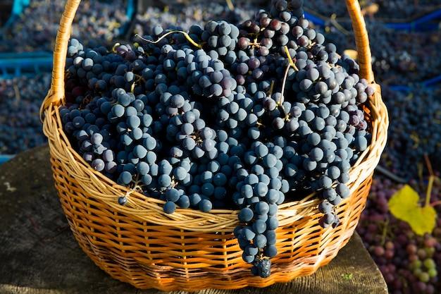 ブドウ園でのブドウの収穫。バスケットに集められ、ワイン生産の準備ができているイザベラブドウの黒いクラスターのクローズアップ。