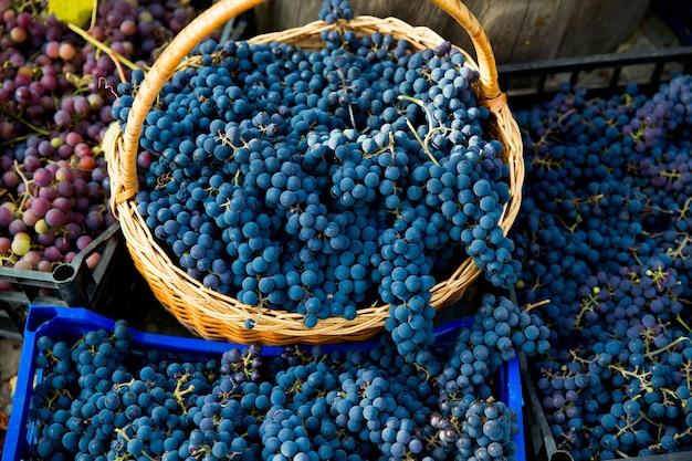 ブドウ園でのブドウの収穫。箱に集められ、ワイン生産の準備ができているピノノワールブドウの赤と黒のクラスターのクローズアップ。