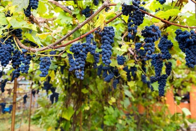ブドウ園でのブドウの収穫