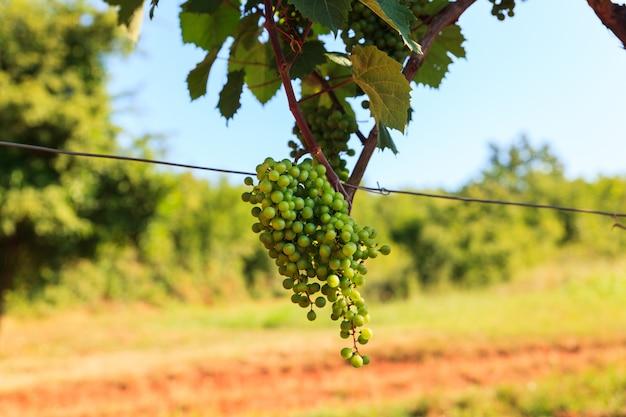 Grape harvest, istria