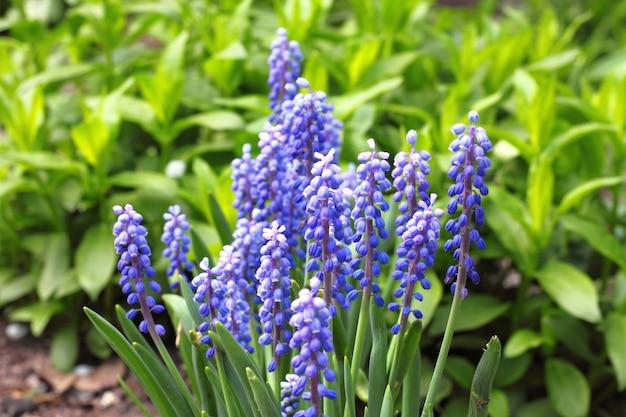 Grape hyacinth (muscari armeniacum) in spring