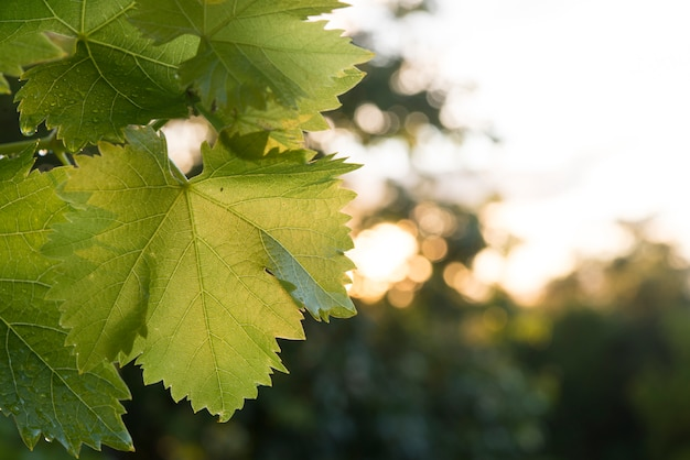 Grape leaf (grape) at sunset recently rained