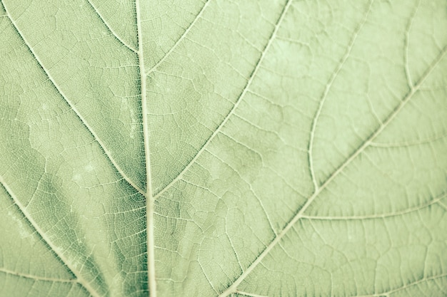 Grape leaf, green toned, macro. close up texture with copy space for design.