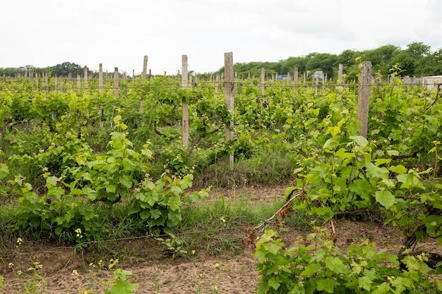 포도 잎과 포도밭 풍경, 여름의 포도 잎, 우크라이나, 오데사 지역, 샤보