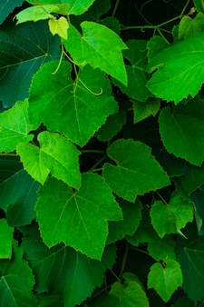 Grape leaves as a background