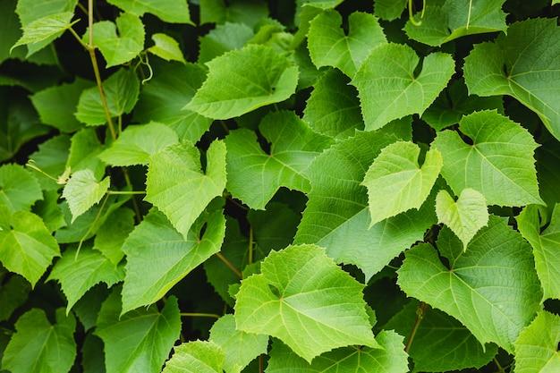 Grape leaves in the garden. plants in botanical garden