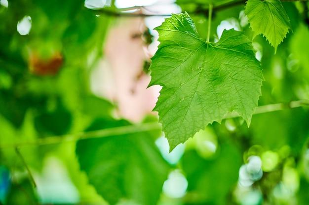 Виноградные листья. зеленая лоза выходит на солнечный день в сентябрь в виноградник. вскоре осенью собирают виноград для приготовления вина, варенья и соков.