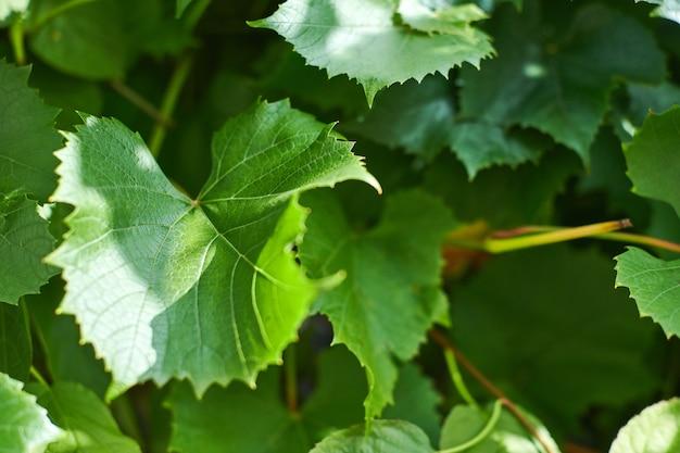 ブドウの葉。緑のつるは、ブドウ園で晴れた9月の日に葉します。ワイン、ジャム、ジュースを作るためのブドウのすぐ秋の収穫。