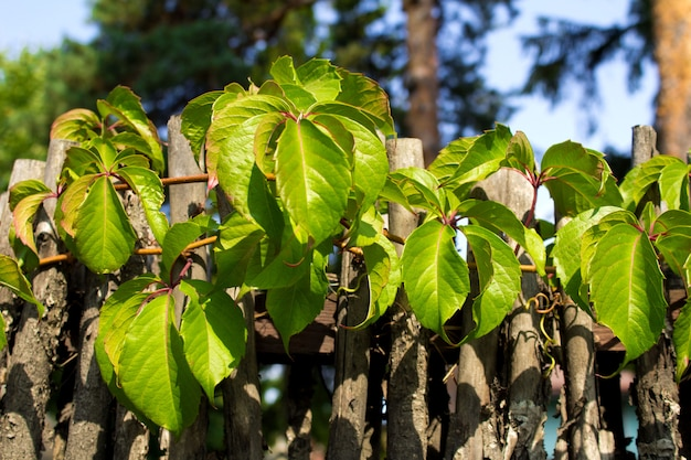 Grape leaves on the old fence