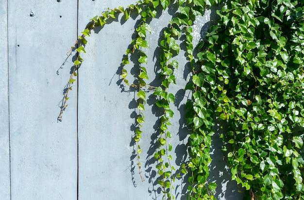 Виноградные листья на голубой бетонной стене стены. концепция плаката с копией пространства