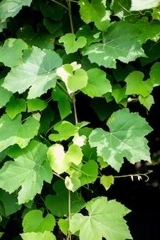 포도는 어두운 배경에 나뭇잎. 정원에서 포도 덩굴입니다.