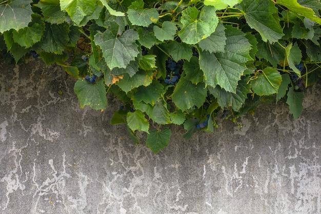 ブドウの葉はセメントの背景に。セメントの壁の背景は、インテリアデザインのための抽象的なコンクリートのテクスチャ、背景や装飾のための風化した傷。