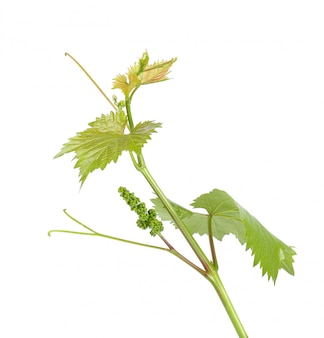 Grape leaves vine branch with tendrils tropical plant isolated on white background, clipping path.