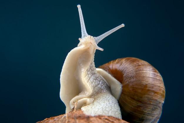 Grape snail on a coconut