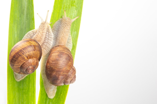 Grape snail crawling on green leaves. mollusc and invertebrate