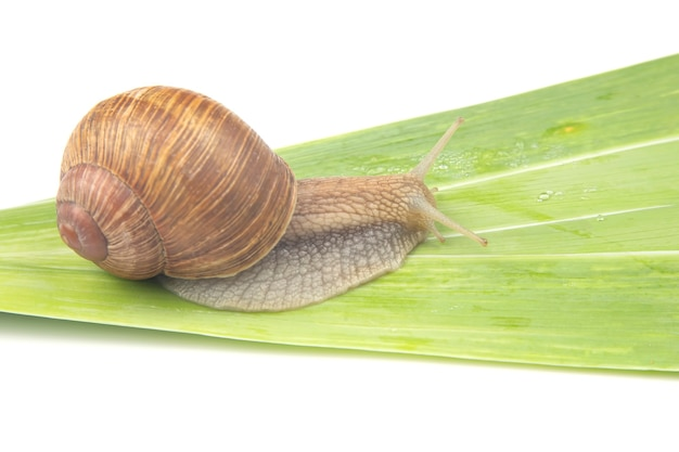 Grape snail crawling on green leaves. mollusc and invertebrate.