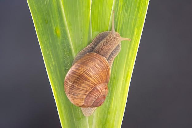 Виноградная улитка ползет по зеленым листьям. моллюски и беспозвоночные. деликатесное мясо и деликатесы. расслабление