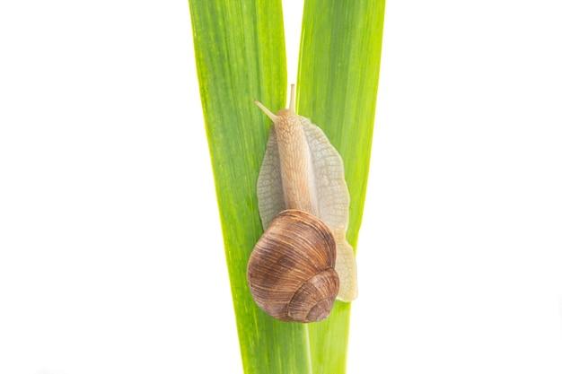 Виноградная улитка ползет по зеленым листьям. моллюски и беспозвоночные